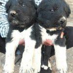 خرید و فروش سگ گله و نگهبان اصیل قهدریجانی